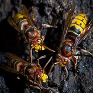 European Hornet or Giant Hornet