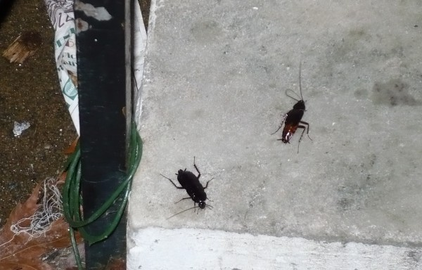 Oriental Cockroaches