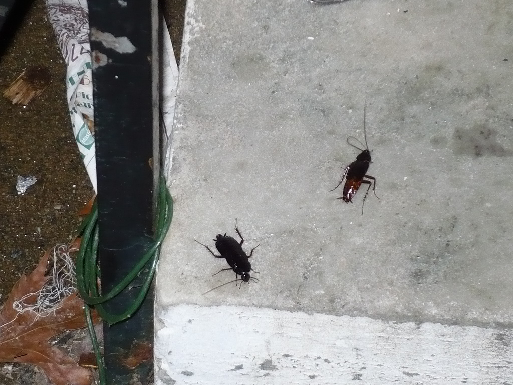 Oriental Cockroaches - I Know A Guy Pest Control Llc.